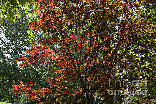 Japanese Red Maple 2 by Ruth Housley