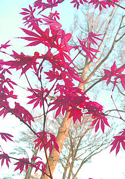Japanese Red Maple by Lisa Fatone