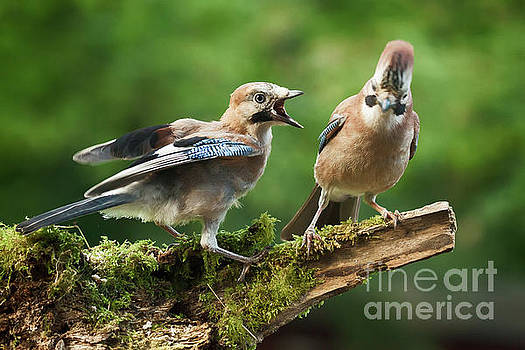 Simon Bratt Photography LRPS - Jay bird demanding food form parent