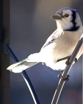 Jay Bird by Diane Merkle