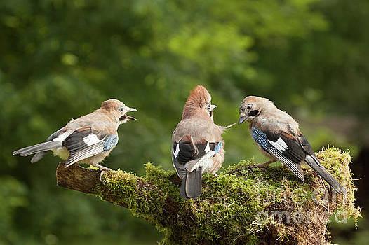 Simon Bratt Photography LRPS - Jay bird family of three feeding