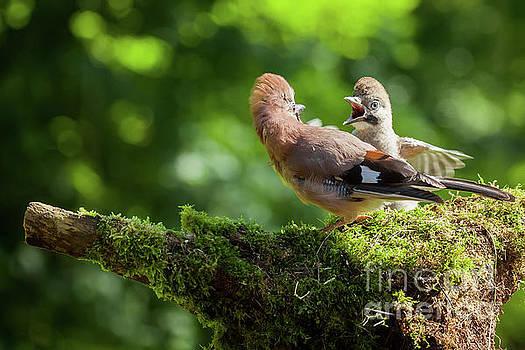 Simon Bratt Photography LRPS - Jay bird feeding baby Jay