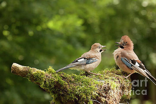 Simon Bratt Photography LRPS - Jay bird feeding young chick