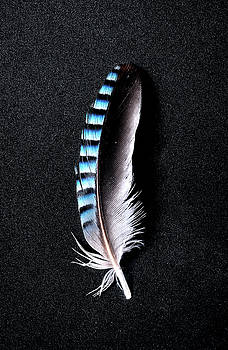 Weston Westmoreland - Jay feather 1 without text