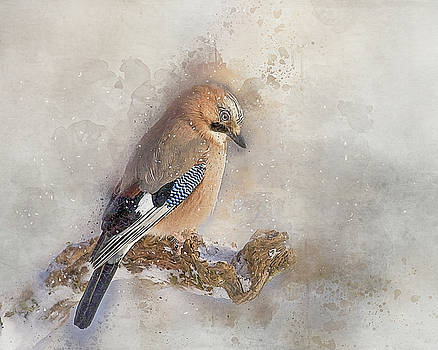 Jay in falling snow by Brian Tarr