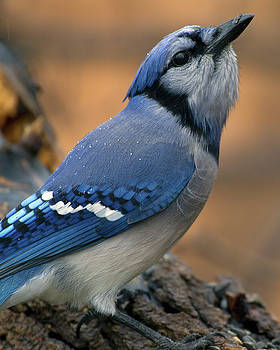Jay in the Rain by Timothy McIntyre