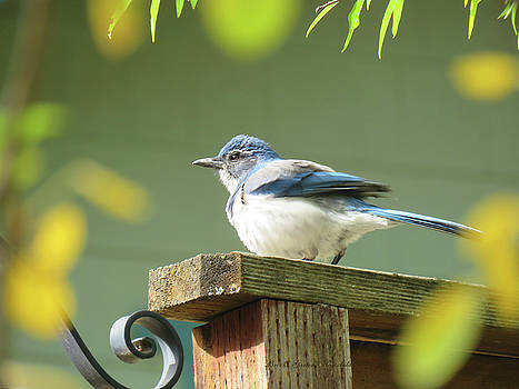 Scrub Jay on a Fence - Images from the Fall Garden by Brooks Garten Hauschild