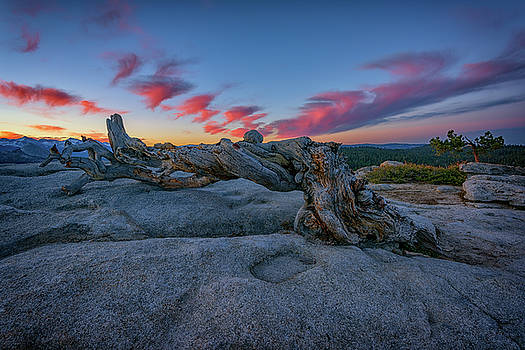 Jeffrey Pine Dawn by Rick Berk