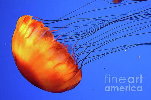 Jelly Fish 2 by Susan Cliett