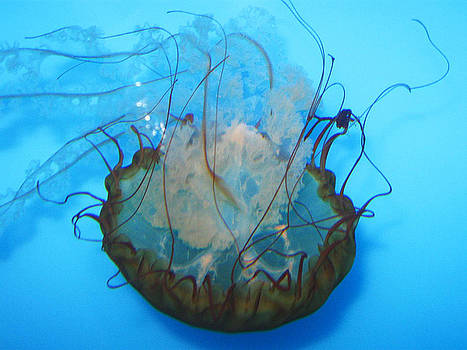 Jellyfish by Amanda Berry