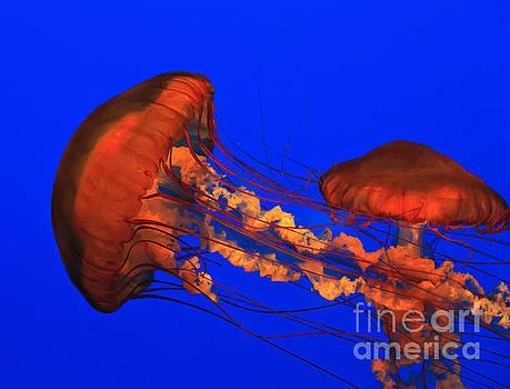 Jill Lang - Jellyfish