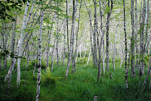 Jesup Path Birches by Steven Scott
