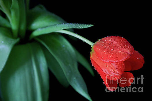 Jeweled Tulip by Tracy Hall
