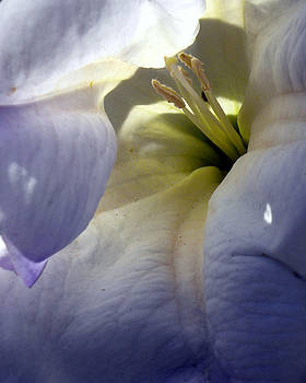 Jimson Weed Seduction by Sandy Fisher