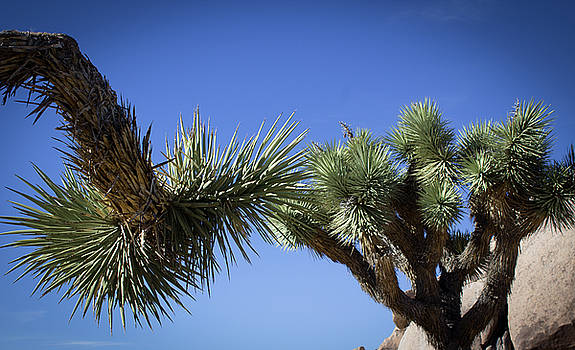 Joshua Tree Branches by Elaine Webster