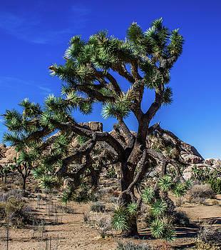 Joshua Tree by Elaine Webster