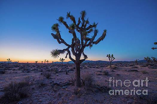 Joshua Tree Glow by Robert Loe
