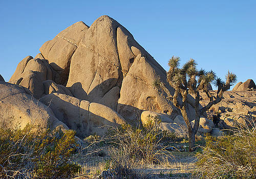 Joshua Tree by Kenneth Hadlock