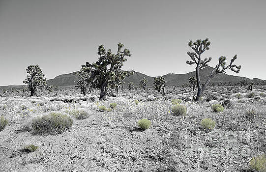 Joshua Trees by Blake Yeager