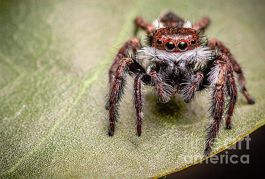 Jumping Spider by Tosporn Preede
