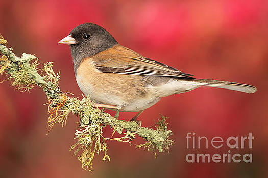 Junco Against Peach Blossoms by Max Allen