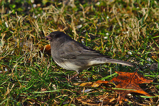 Junco by Brad Chambers