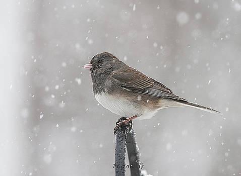 Junco in a blizzard by Diane Giurco