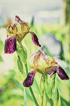 June Iris by Jerri Moon Cantone