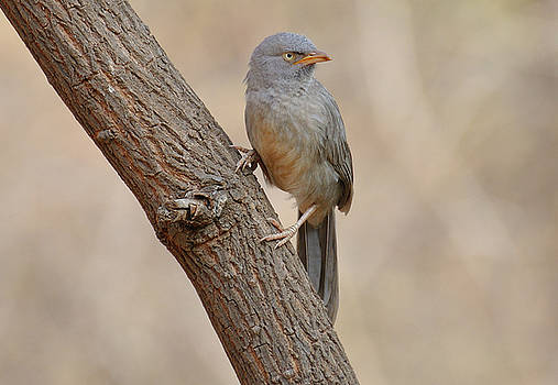 Jungle babbler by Manjot Singh Sachdeva