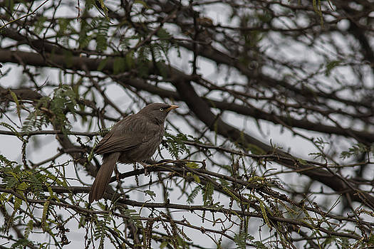 Jungle Babbler  by Ramabhadran Thirupattur