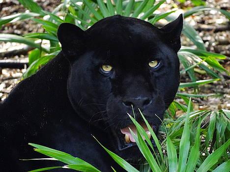 Jungle Cat by Mary Vinagro