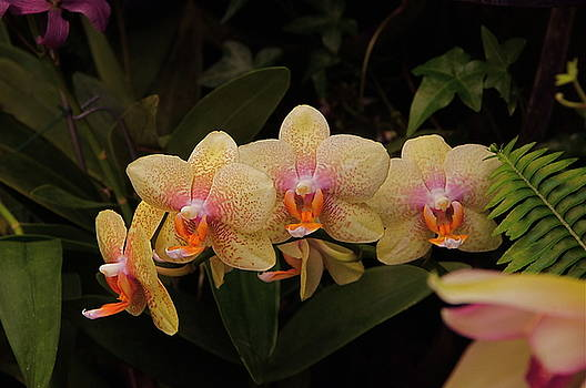 Byron Varvarigos - Jungle Orchids