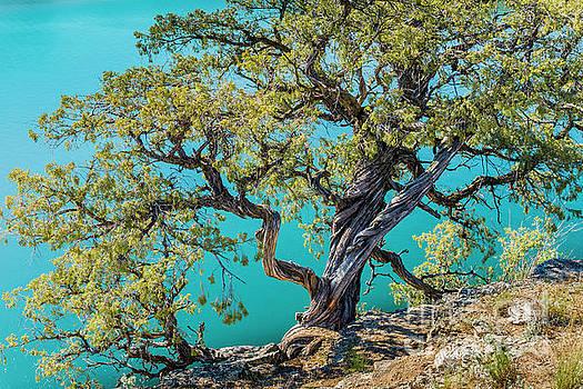 Juniper Tree by Michael Wheatley