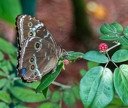 Dee Carpenter - Junonia Coenia Butterfly