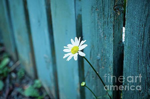 Just a Daisy by Felix Choo