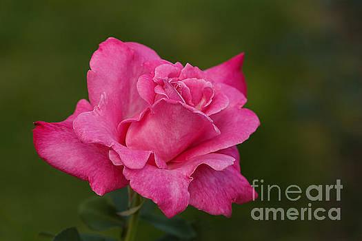 Just a Rose by Irina Gladkaja