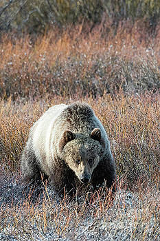 Tibor Vari - Just Abandoned Young Grizzly Bear
