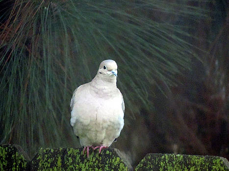 Just Another Dove by Eric Forster