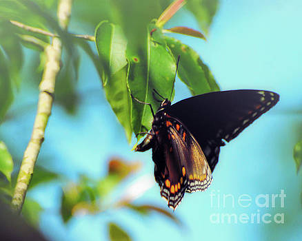 Just Hanging Out - Red-Spotted Purple Butterfly by Kerri Farley