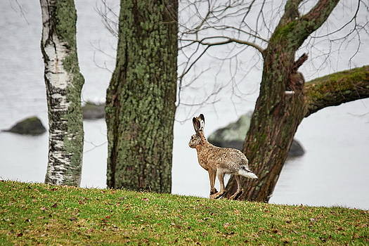 Just jumping by the lake. European hare by Jouko Lehto