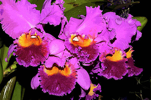 Just Orchids Painterly by Phyllis Denton