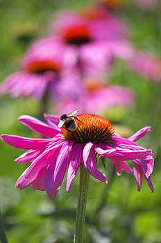 Angela Doelling AD DESIGN Photo and PhotoArt - Purple coneflowers