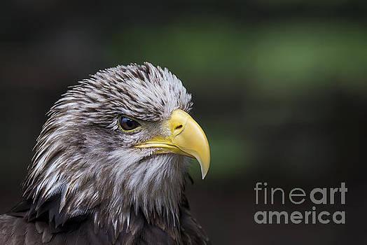 Juvenile Bald Eagle by Andrea Silies