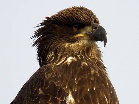 Juvenile bald eagle 2 by Dennis McCarthy