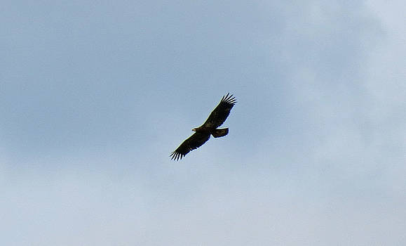 Juvenile Bald Eagle by Azthet Photography