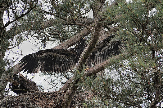 Juvenile Bald Eagle Chick At The Nest In Shiloh Tennessee 052120152467 by WildBird Photographs