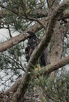 Juvenile Bald Eagle Chick In Shiloh Tennessee 052120152480 by WildBird Photographs