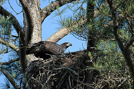 Juvenile Bald Eagle In Nest Shiloh Tennessee 052620156498 by WildBird Photographs
