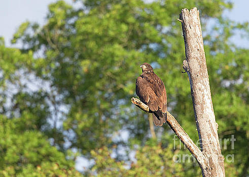 Juvenile Bald Eagle by Joshua Clark