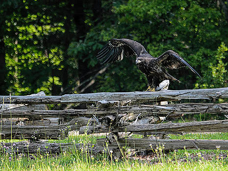 Juvenile Bald Eagle On Wood Fence 052120153152 by WildBird Photographs